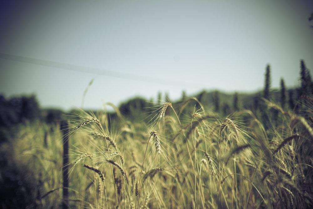 Wheat nearly mature.