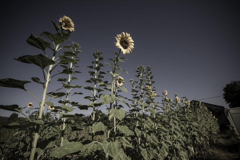 Sunflowers grow tall.