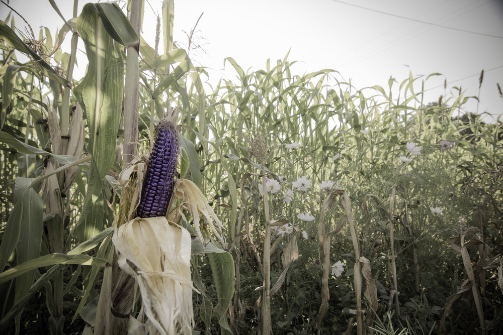 Flour corn ready for harvest.