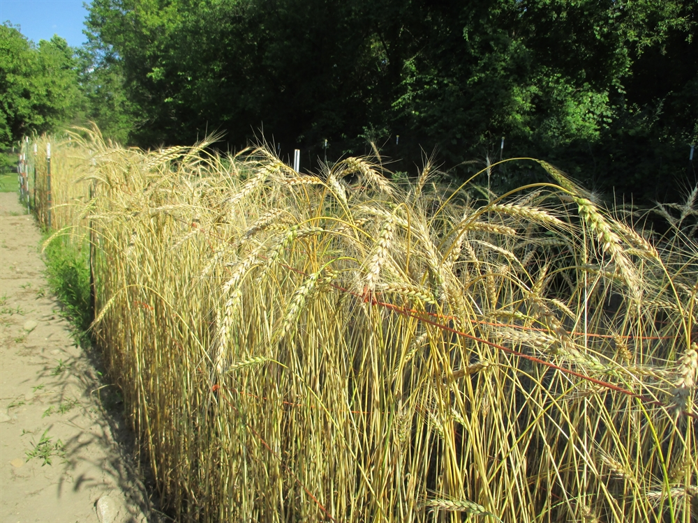 Sherck Seeds - My goal is to provide a regionalized source of open-pollinated seed, for staple crops like rice, wheat, barley, dry beans, and many others. This website gives customers a place to browse, learn about, and purchase this seed.