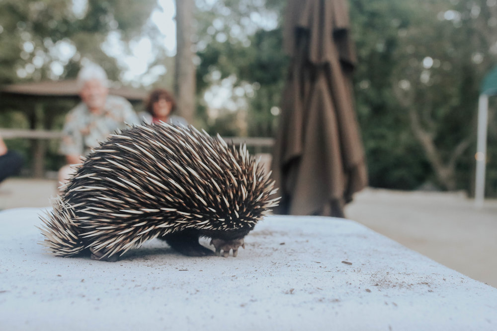 we got to meet + touch a spiny echidna! he felt just like a plastic hairbrush.