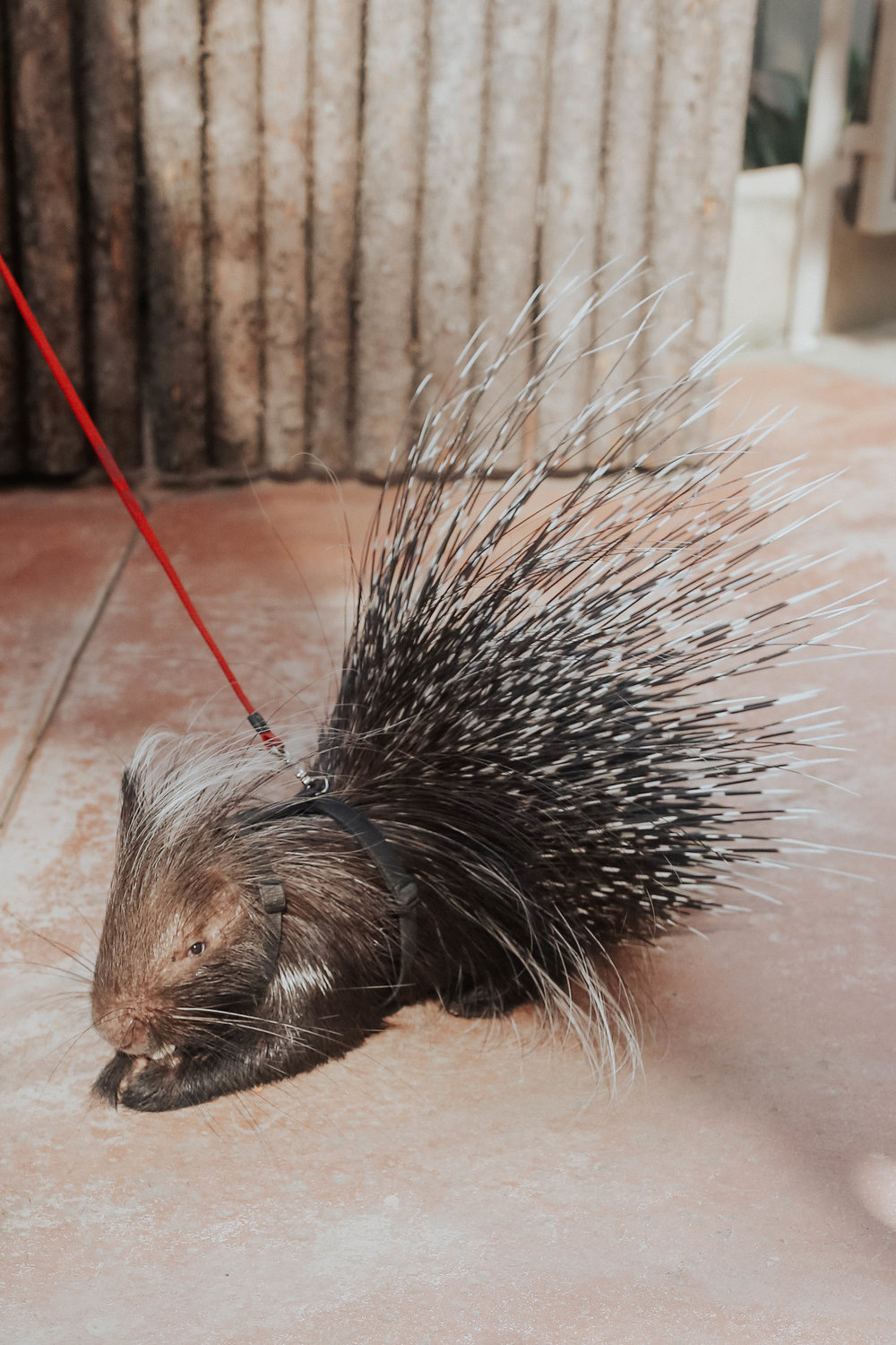 - met the cutest porcupine during the morning tour ❤️ she eats with more grace than i do (not that this should surprise anyone).
