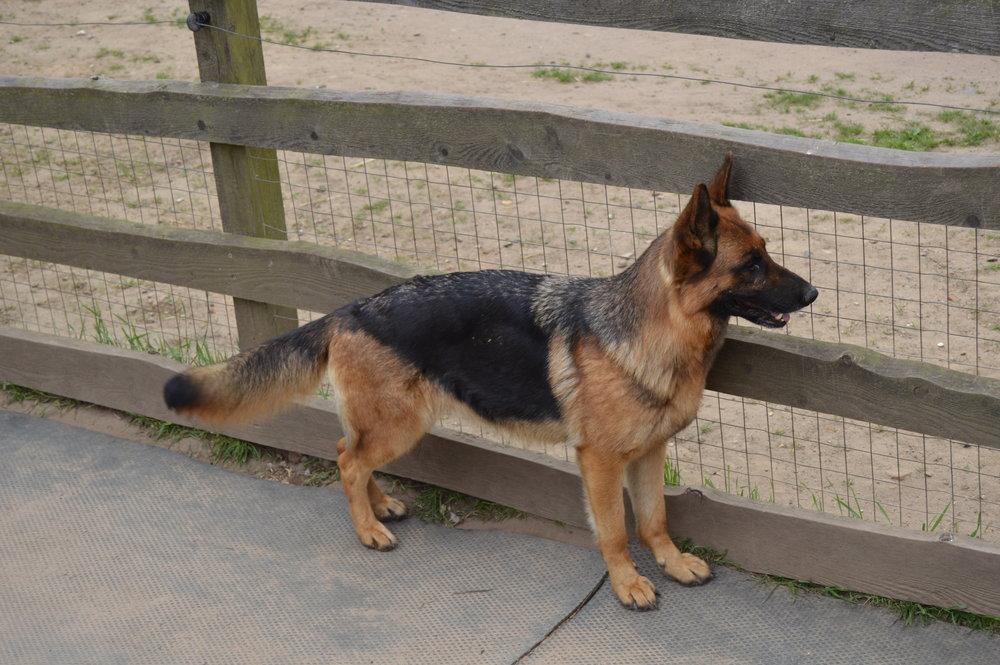 Schæfertæve Roager´s Zammie står vagt langs hegn.