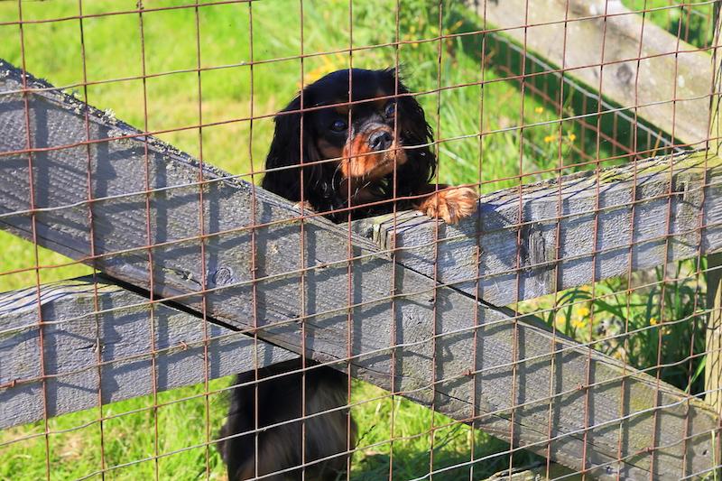 Hundepension - Kennel Roager - Liva op af hegn i lille have.JPG