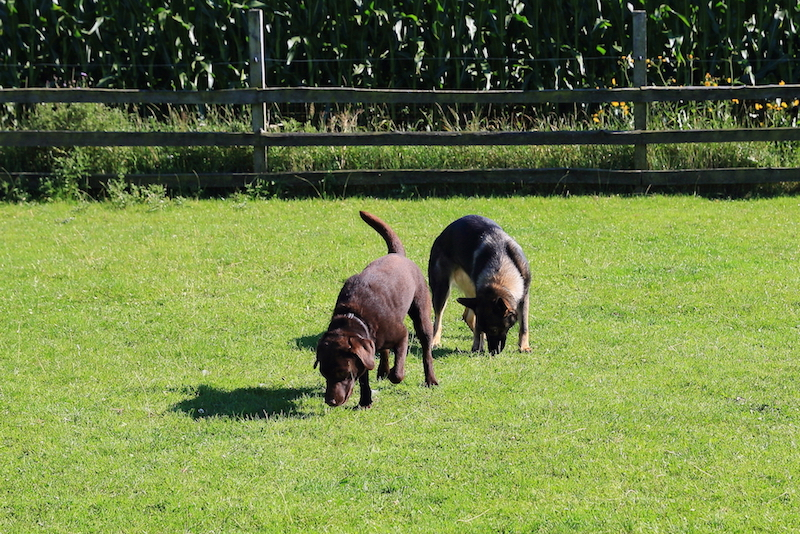 Hundepension - Kennel Roager - pensionshunde i bagerste indhegning.JPG