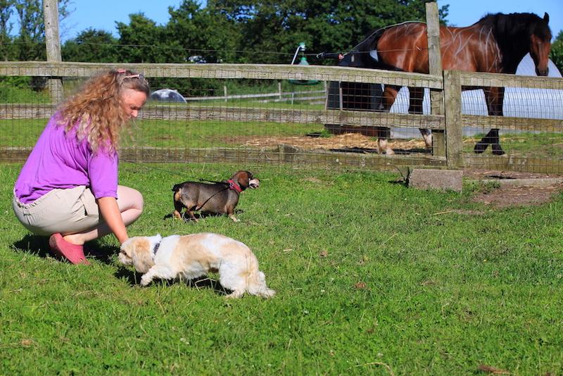 Hundepension - Kennel Roager - pensionshunde luftes i midterstykket - hest i baggrund.JPG