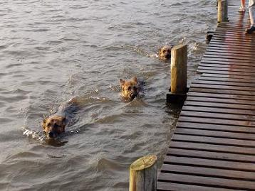 3 schæfer vandhunde.jpg