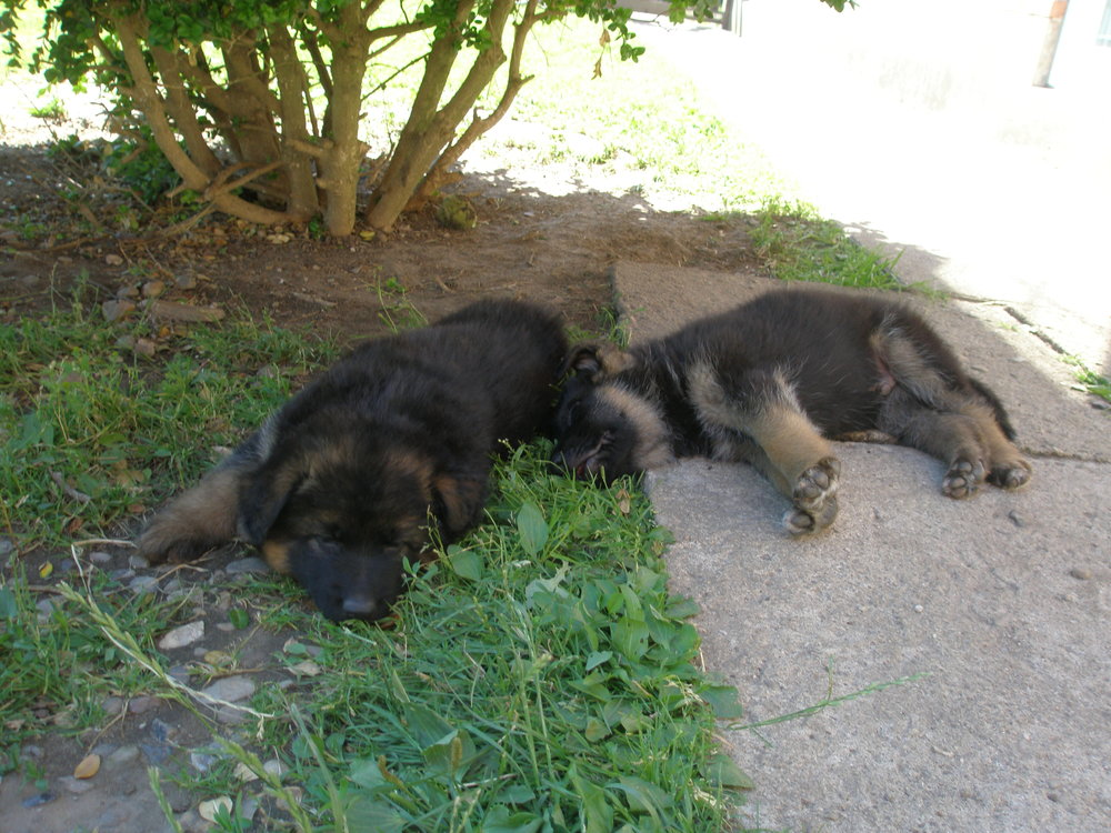 2 sovende schæferhvalpe under busk.JPG