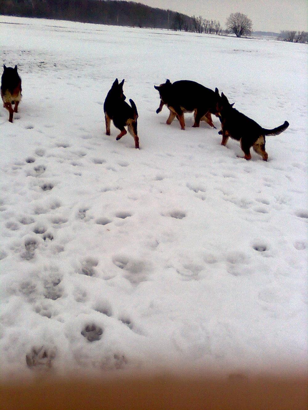 5 schæfere i sne i feb 2010.jpg
