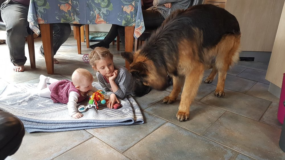 Langstockhåret schæfer han med småbørn.jpg