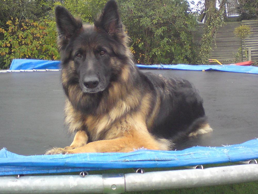 Langstockhåret schæfertæve Roager´s Lucy (Luna) på trampolin.JPG