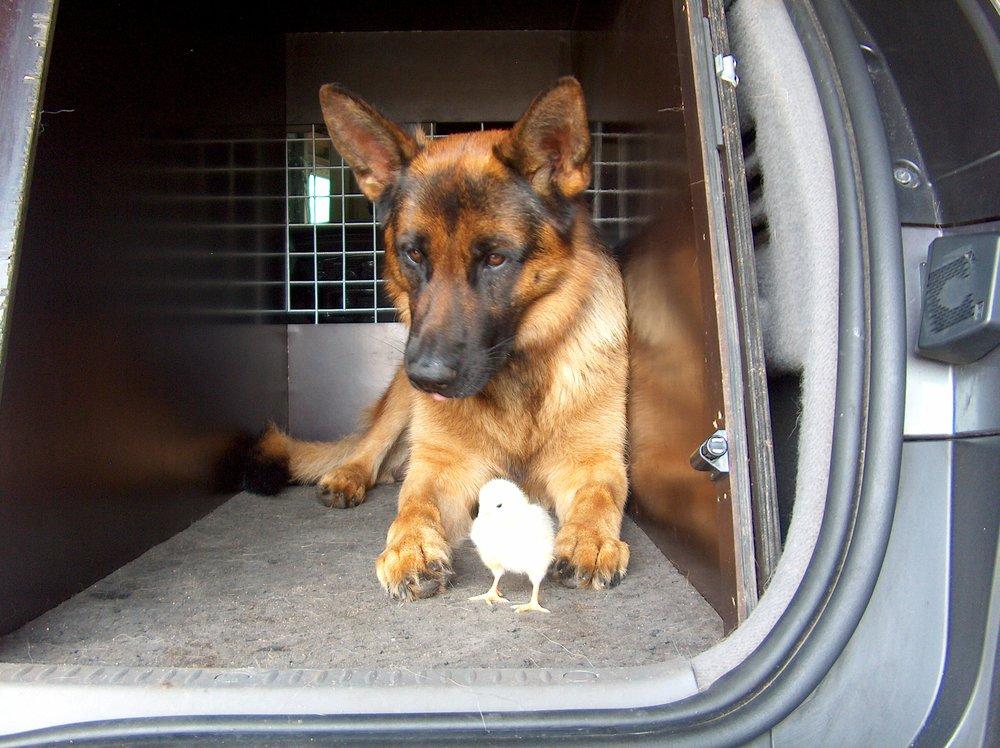 Schæferhan med kylling i bil.jpg