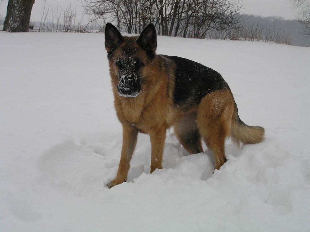Schæferhan Roager´s Victor i sne 1.3.2005.jpg
