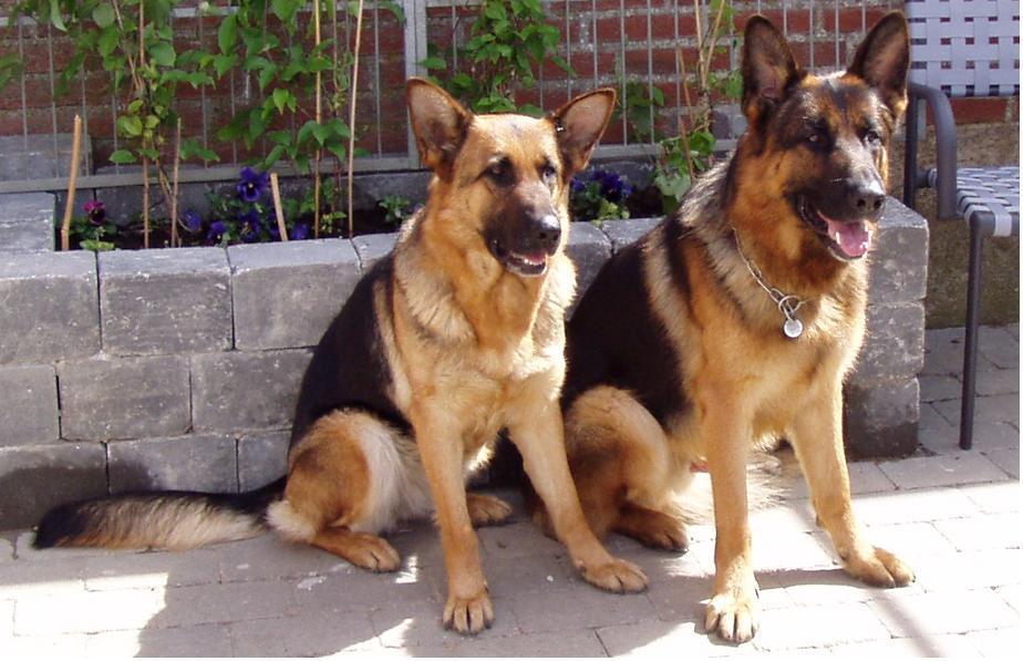 Schæferhunde Roager´s Barbie og Roager´s Cobi.jpg