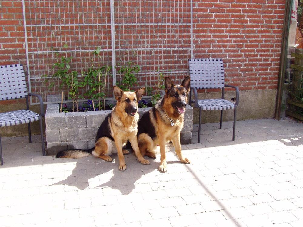 Schæferhunde Roager´s Cobi og Barbie sommer 2005 siddende nr. 2.jpg