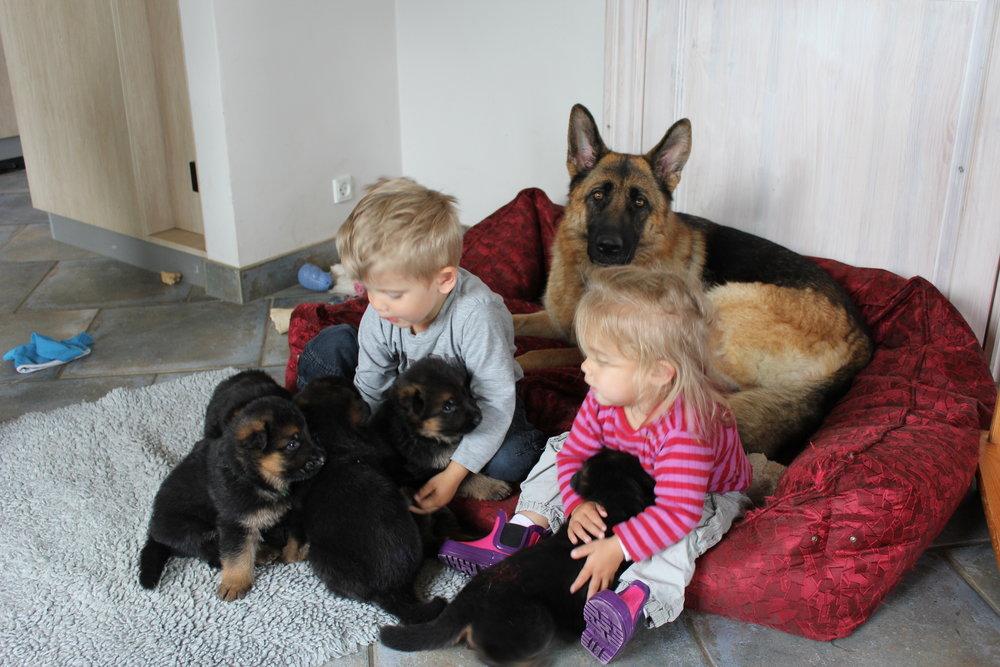 Schæfertæve Roager´s Yatsi med schæferhvalpe og børn.