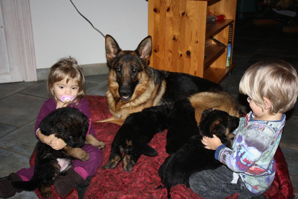 Schæfertæve Roager´s Xana med schæferhvalpe og børn.
