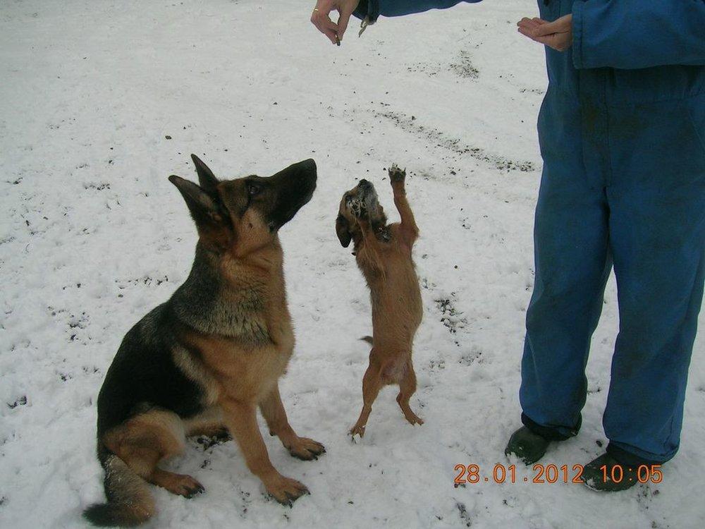 Schæfertæve Roager´s Vukka siddende i sneen.