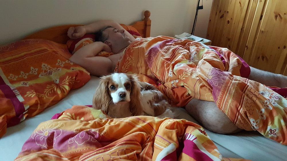 Cavalier king charles spaniel tæve Alberte 2017-01-15 hygge i sengen.jpg