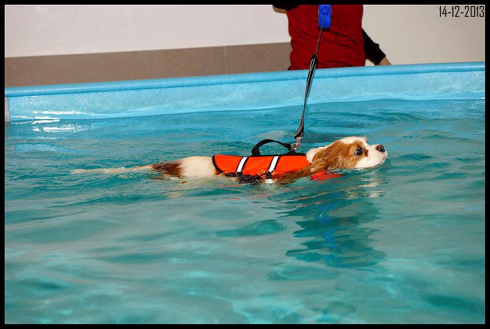 Cavalier king charles spaniel tæve Alberte svømmende.jpg