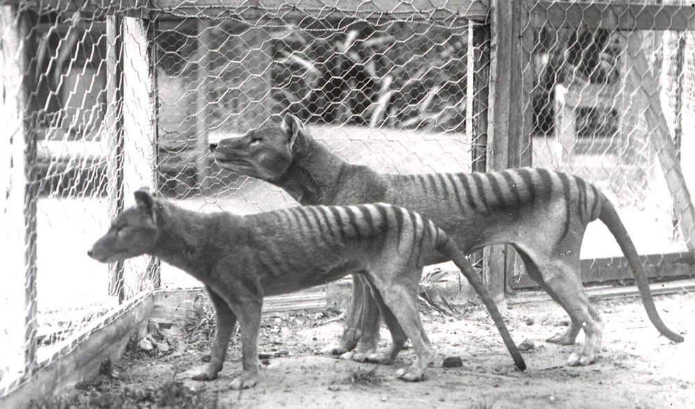 Captive Thylacines in the 1930's - could this be what Martin saw that day?