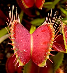 venus fly trap.jpg