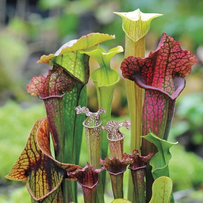 The Well-Known Pitcher PLant