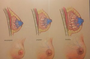 Lactating-Breast3-300x197.jpg