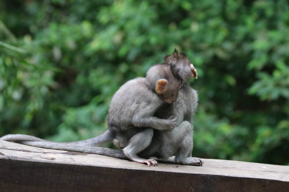 macaques-brothers-3.jpg