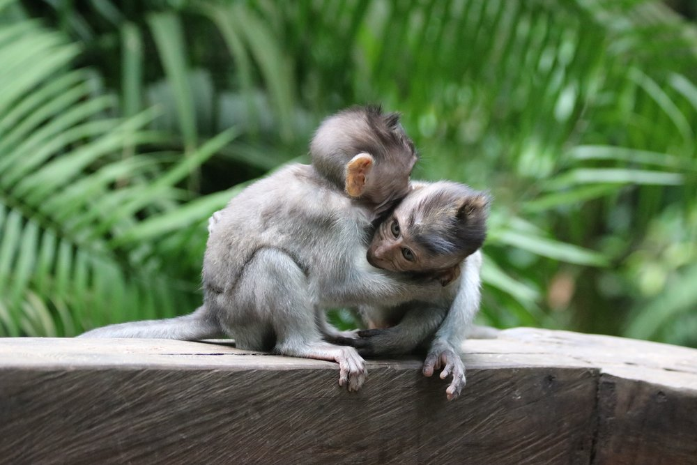 macaques-brothers-2.jpg