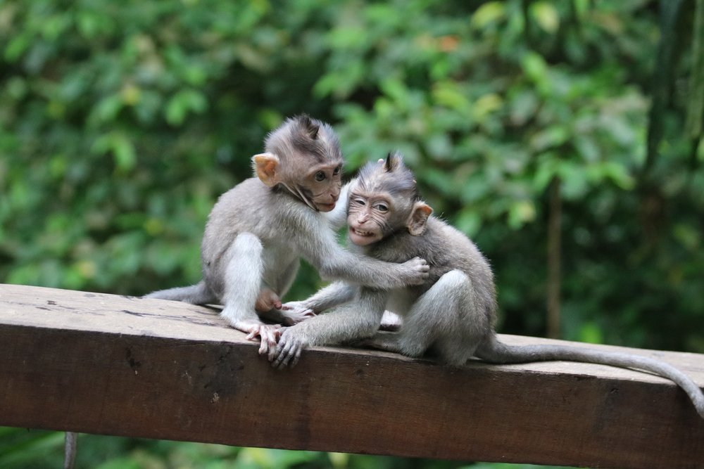 Macaque baby monkeys