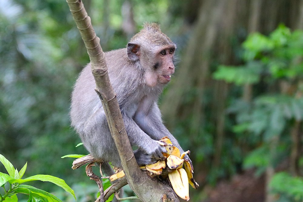 macaque-banana-3.jpg