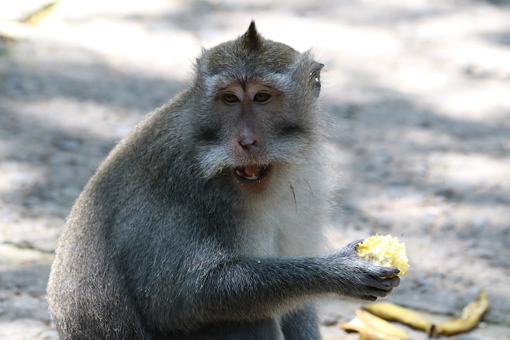 macaque-corn-2.jpg