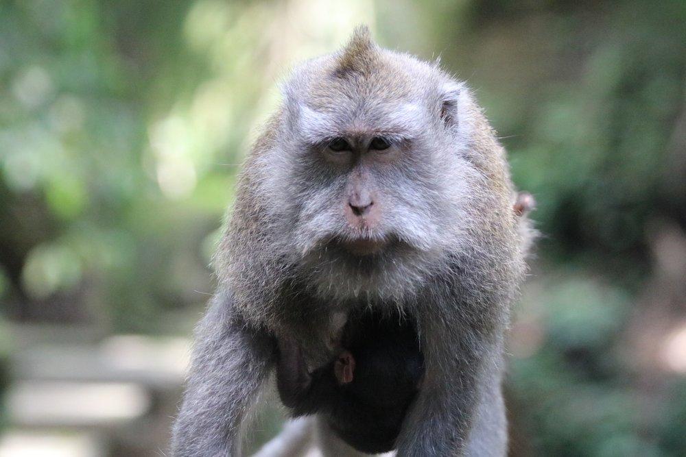 macaque-baby-3.jpg