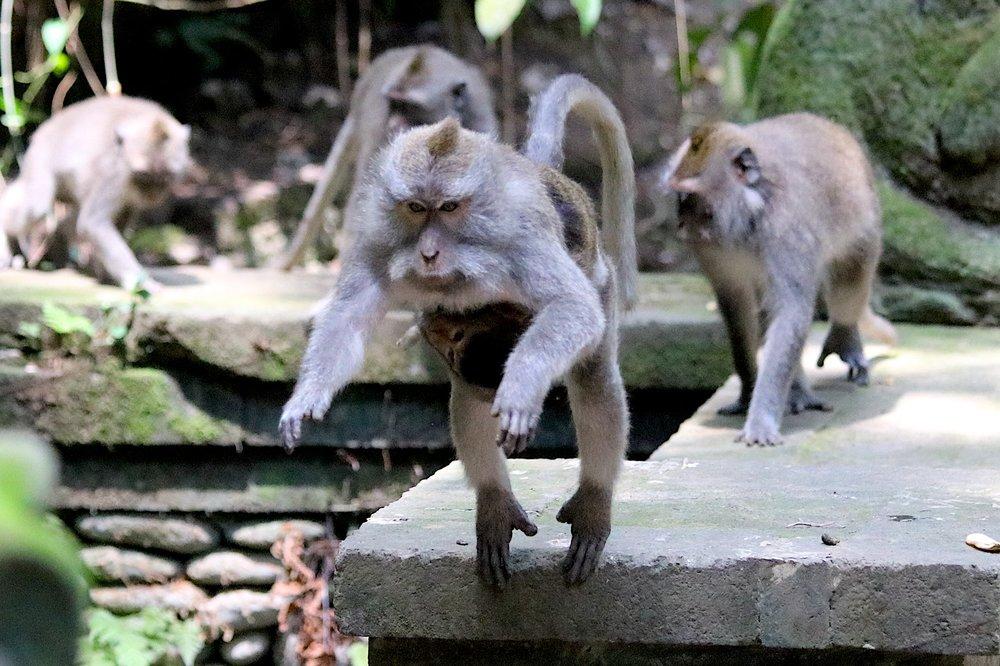 macaque-baby.jpg