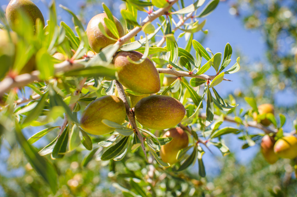 Fresh fruits of Argan