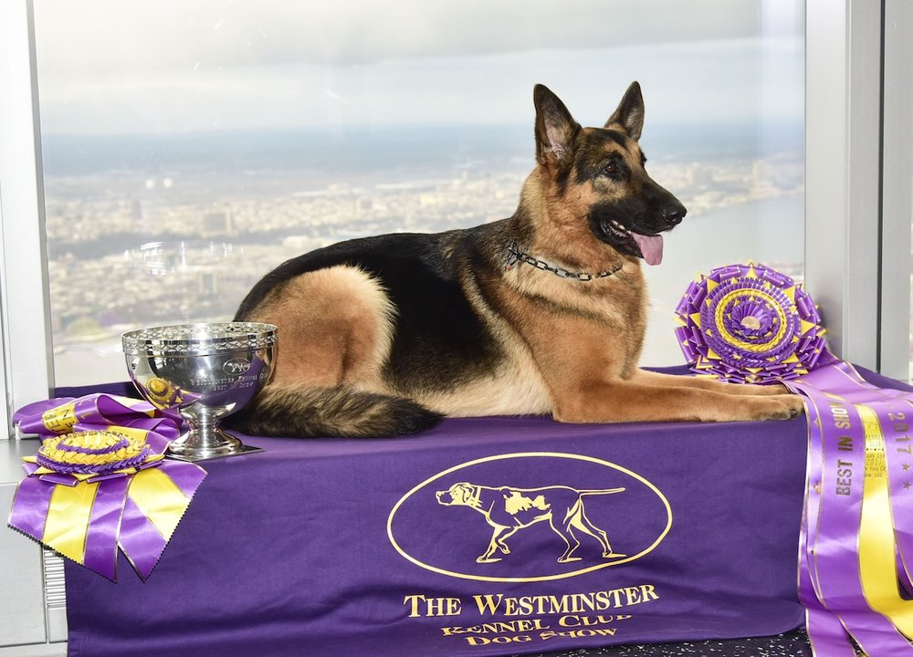 Rumor the German Shepard Champion