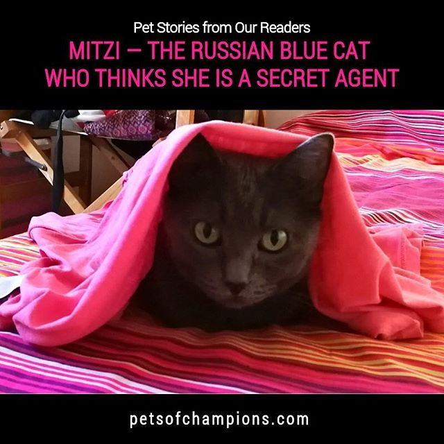 Mitzi has a lot of secrets, and so she should after a very long career of cover(t) affairs! Read her full story in petsofchampions.com  #petsofchampions #russianblue #cat #pets #bestfriends #catsofinstagram  #cats #catgram