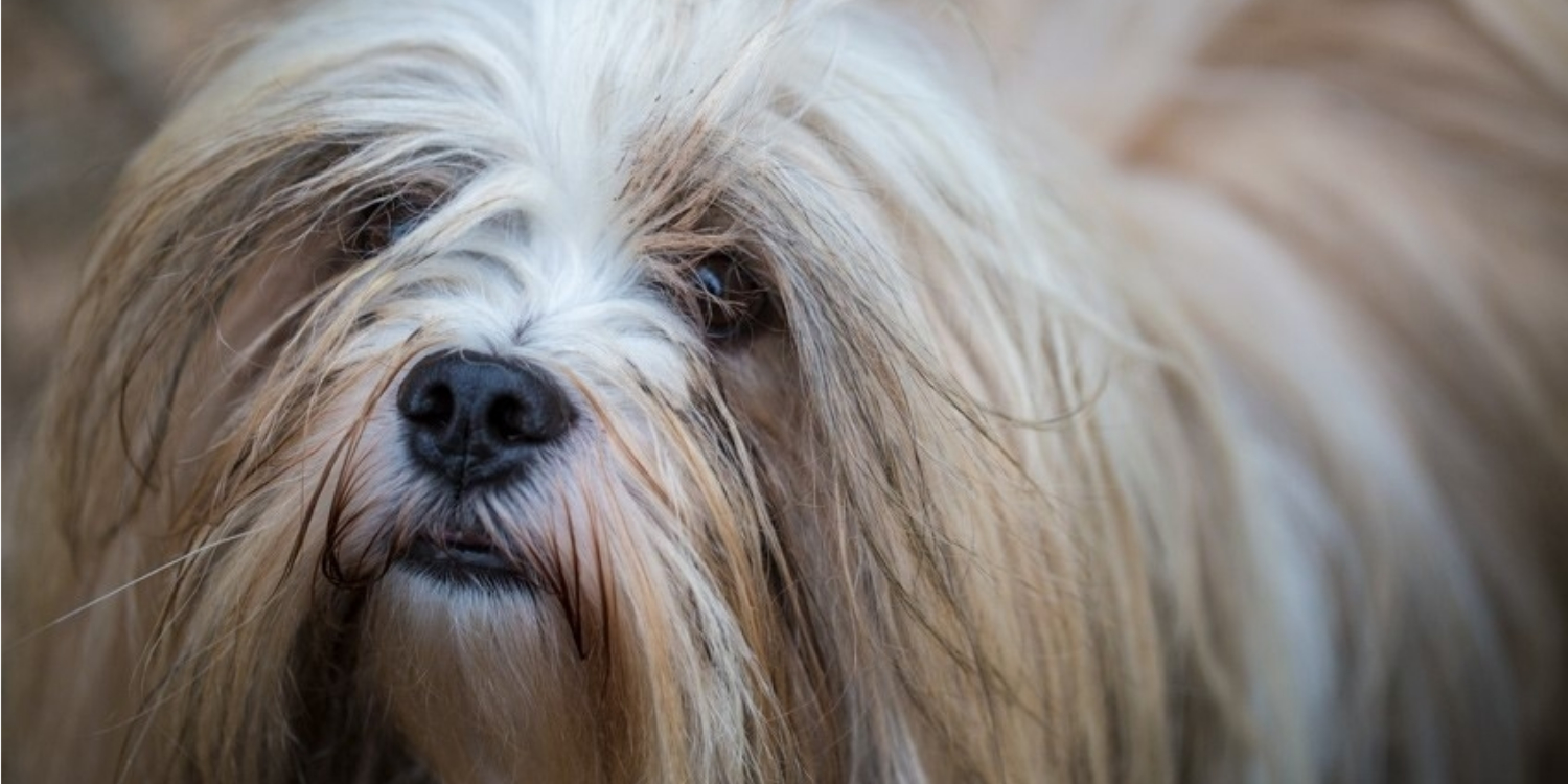BOBBY - THE LITTLE LHASA APSO DOG WITH A BIG HEART & AN EXTREMELY