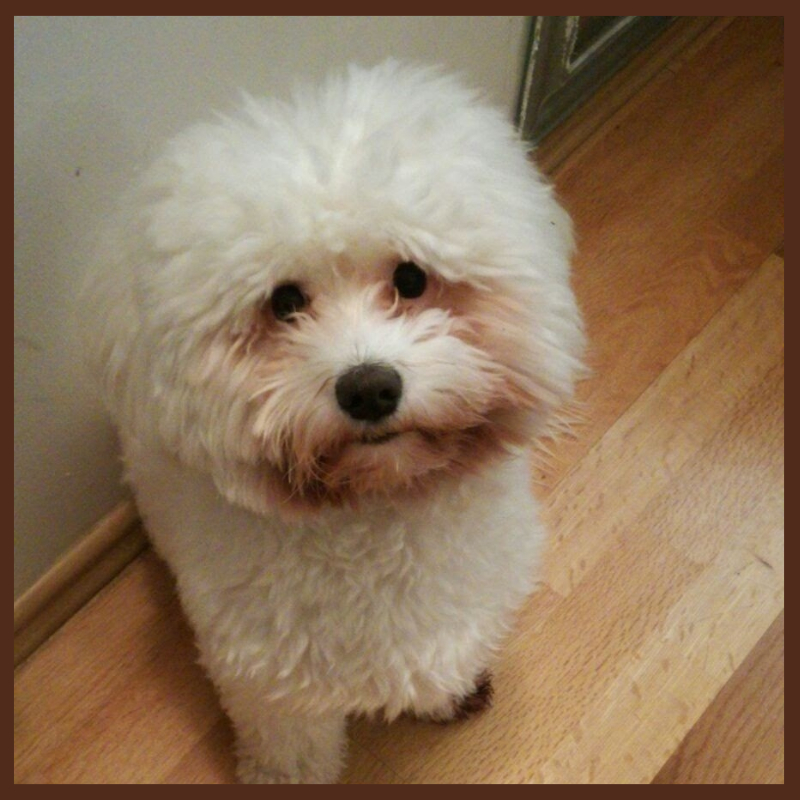 kuky the handsome coton de tulear looking for a bride