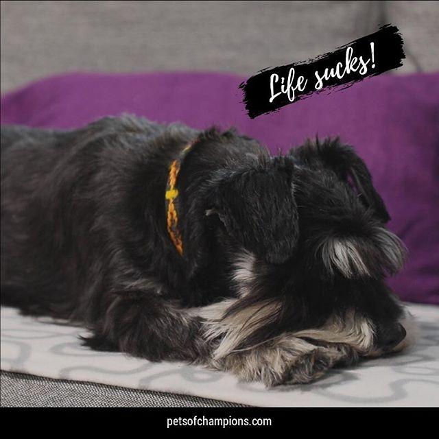 It's only Wednesday and the week-end seems so faraway! #pets #petsofinstagram #schnauzersofinstagram #schnauzers #animals #dog #dogs #bestfriend