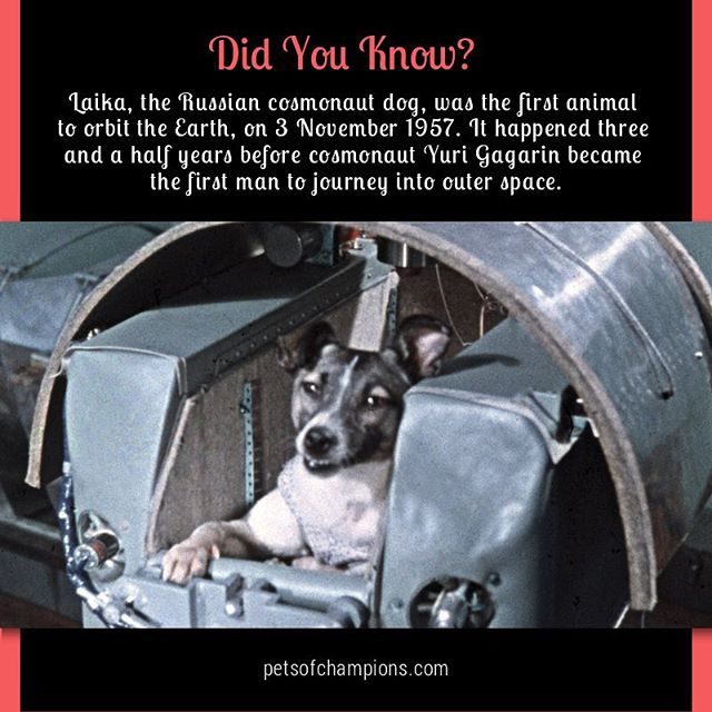 We may be celebrating today the International Day of Human Space Flight, but let's not forget that it was a Russian stray dog, Laika, who orbited the Earth almost four years before Yuri Gagarin. #InternationalDayOfHumanSpaceFlight #laika #spaceflight #HumanSpaceflight #HumansInSpace #astrodog #dogs #outerspace #petsofchampions #dogsofinstagram #instadog #dog #dogstagram