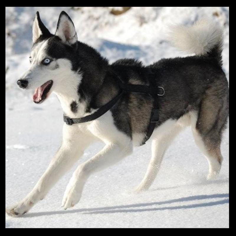 husky-yuki-7.jpg