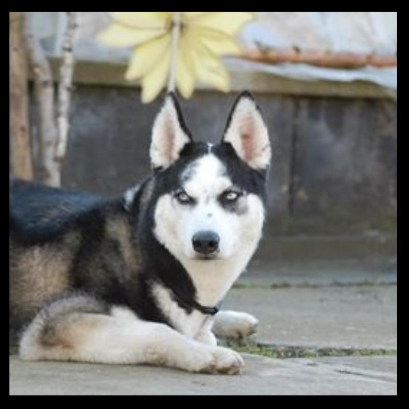 husky-yuki-11.jpg