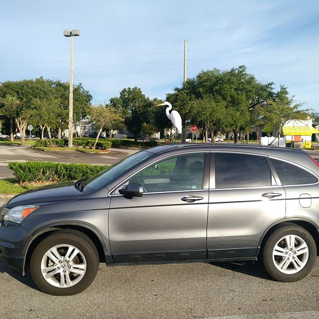 Just a bird on a car in 2018. #Bird2018 #birdonacar #storkorheron #alomapharmacy #floridabirds