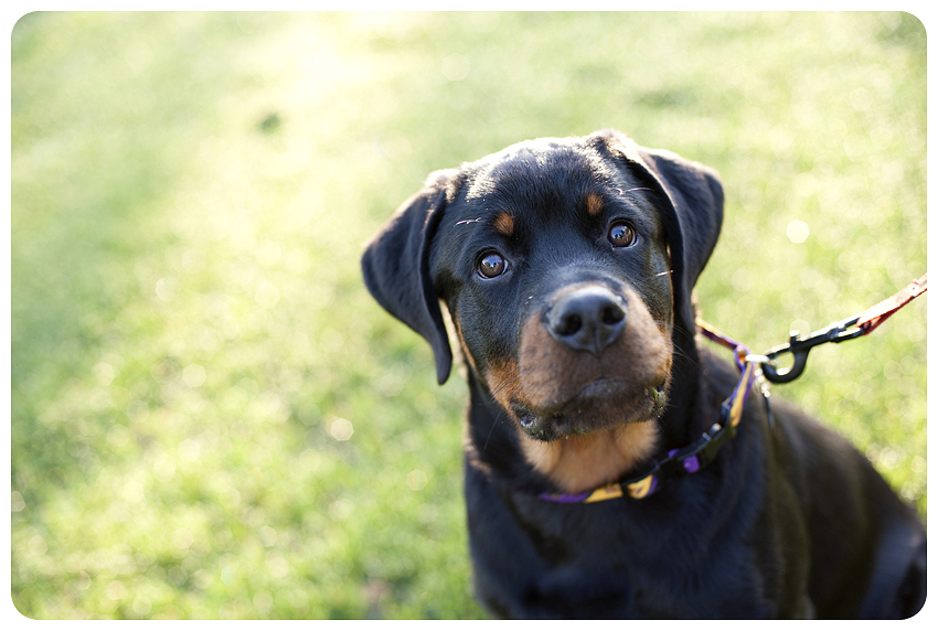 Griffin Gate Engagement Rottweiler