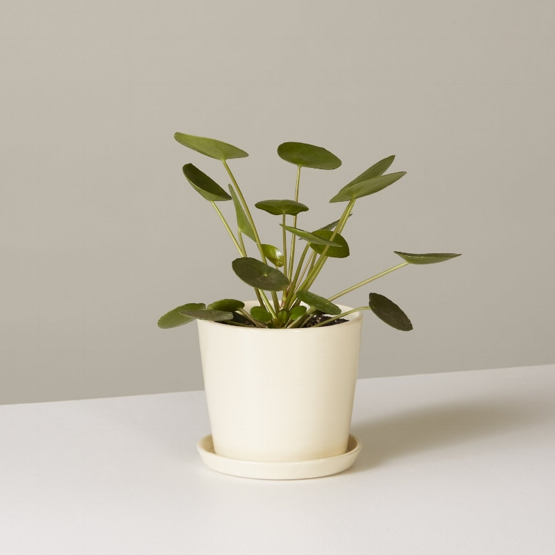 the-sill_pilea-peperomioides_holiday-gift-guide-2018