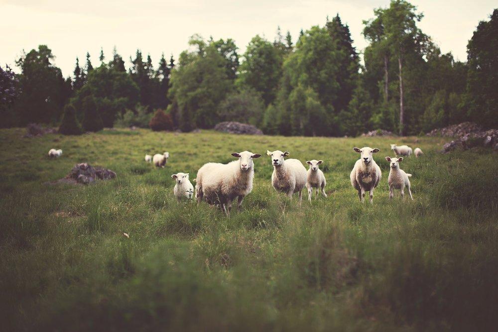 sheep-336474_1920.jpg