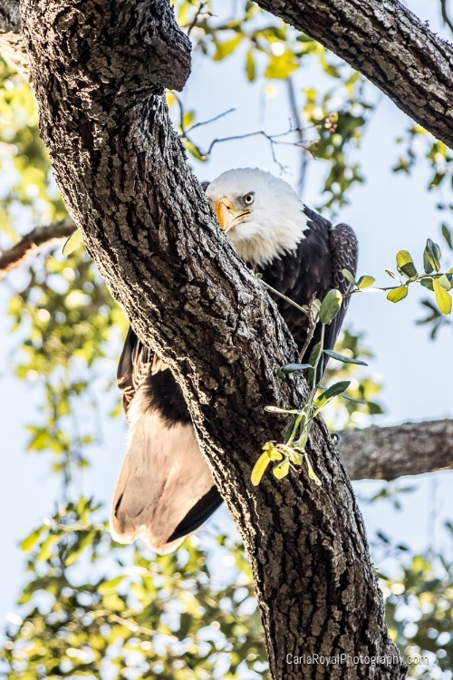 Bald Eagle. My backyard. Dunedin, FL