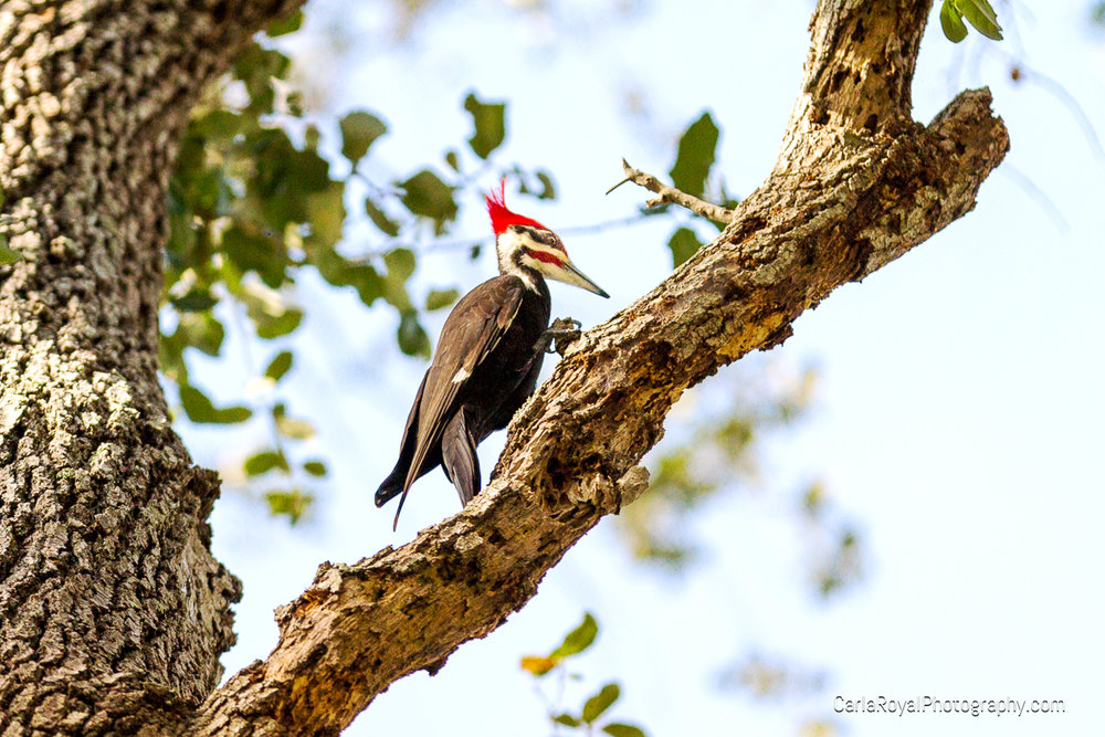 Pileated Woodpecker. My backyard. Dunedin, FL